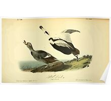 James Audubon Vector Rebuild - The Birds of America - From Drawings Made in the United States and Their Territories V 1-7 1840 - Pied Duck Poster