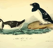 James Audubon Vector Rebuild - The Birds of America - From Drawings Made in the United States and Their Territories V 1-7 1840 - Little Auk or Sea Dove by wetdryvac
