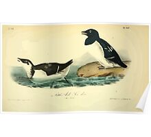 James Audubon Vector Rebuild - The Birds of America - From Drawings Made in the United States and Their Territories V 1-7 1840 - Little Auk or Sea Dove Poster