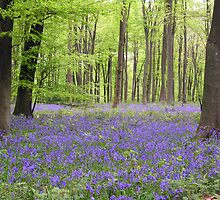 Bluebells in early May, Micheldever Woods, Hampshire, southern England (landscape) by Philip Mitchell