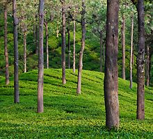 Tea Plantation by Nickolay Stanev