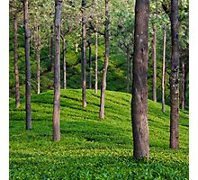 Tea Plantation Photographic Print
