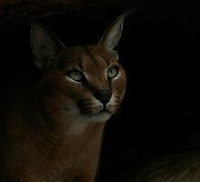 Caracal by BonsEYE