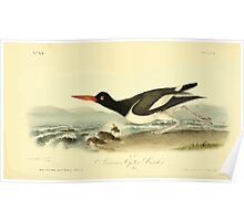 James Audubon Vector Rebuild - The Birds of America - From Drawings Made in the United States and Their Territories V 1-7 1840 - American Oyster Catcher Poster