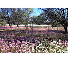 Pink and White Everlastings Photographic Print