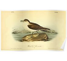 James Audubon Vector Rebuild - The Birds of America - From Drawings Made in the United States and Their Territories V 1-7 1840 - Wandering Shearwater Poster