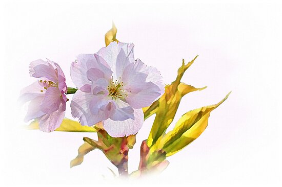 Apple blossoms by Agnes McGuinness