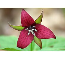 REDREAMING RED TRILLIUM Photographic Print