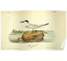 James Audubon Vector Rebuild - The Birds of America - From Drawings Made in the United States and Their Territories V 1-7 1840 - Havells Tern Poster