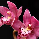 Orchid - Pink by rabeeker