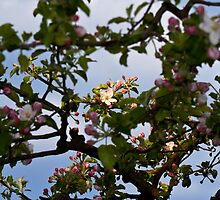 Apple blossoms by Knedl