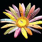 B&W Raindrops on Rainbow Flower by saleire