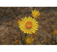 Giant Everlasting (Charming Sunray) Photographic Print