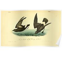 James Audubon Vector Rebuild - The Birds of America - From Drawings Made in the United States and Their Territories V 1-7 1840 - Least Petrel or Mother Carey's Chicken Poster