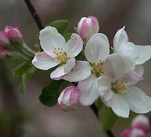 Apple Blossom by Dawne Olson