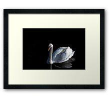 White mute swan on black background Framed Print