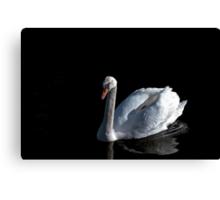 White mute swan on black background Canvas Print
