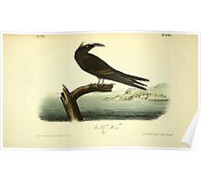 James Audubon Vector Rebuild - The Birds of America - From Drawings Made in the United States and Their Territories V 1-7 1840 - Noddy Tern Poster