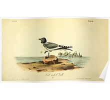 James Audubon Vector Rebuild - The Birds of America - From Drawings Made in the United States and Their Territories V 1-7 1840 - Fork Tailed Gull Poster