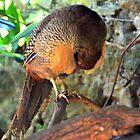 A Shy Golden Pheasant........... by lynn carter