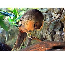 A Shy Golden Pheasant........... Photographic Print