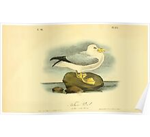 James Audubon Vector Rebuild - The Birds of America - From Drawings Made in the United States and Their Territories V 1-7 1840 - Fulmar Petrel Poster