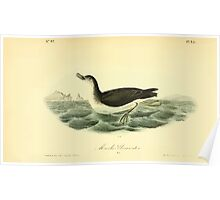 James Audubon Vector Rebuild - The Birds of America - From Drawings Made in the United States and Their Territories V 1-7 1840 - Manks Shearwater Poster