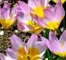 Delicate Tulips .. Sticker