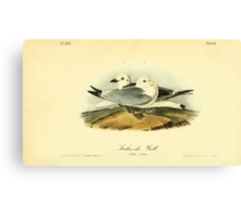 James Audubon Vector Rebuild - The Birds of America - From Drawings Made in the United States and Their Territories V 1-7 1840 - Kittiwake Gull Canvas Print