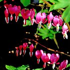 Bleeding Hearts .... by lynn carter