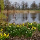 Lysichiton americanus  (yellow skunk cabbage) by lezvee
