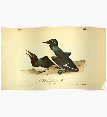 James Audubon Vector Rebuild - The Birds of America - From Drawings Made in the United States and Their Territories V 1-7 1840 - Foolish Guillemot or Murre Poster