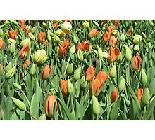 Tulip Patch Photographic Print
