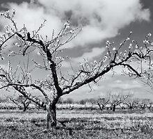 Peach Tree by barefootphoto