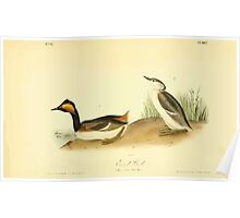 James Audubon Vector Rebuild - The Birds of America - From Drawings Made in the United States and Their Territories V 1-7 1840 - Eared Grebe Poster
