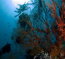 Gorgonian Seafan (1) by Marcel Botman