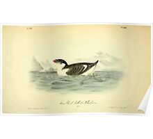 James Audubon Vector Rebuild - The Birds of America - From Drawings Made in the United States and Their Territories V 1-7 1840 - Knobbed Billed Phaleris Poster