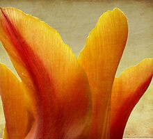 Orange Tulip by J Cole