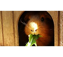 Cute guinea pig eating Photographic Print