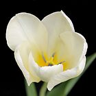 White Petals by Kathleen Brant