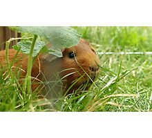 Guinea pig hidden in the grass Photographic Print