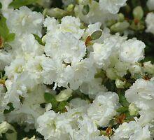 White Azaela by William Sanford