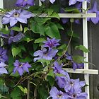 Purple Clematis by William Sanford
