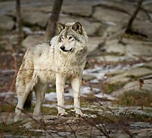 Timber Wolf on Guard by Yannik Hay