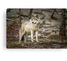 Timber Wolf on Guard Canvas Print