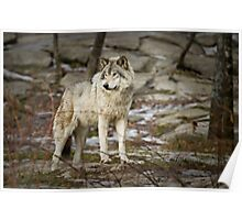 Timber Wolf on Guard Poster