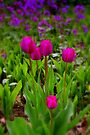 My Tulips................. by Larry Llewellyn