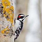 Hairy Woodpecker (Male) by Kathleen Daley