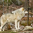 Solitary Timber Wolf by Yannik Hay