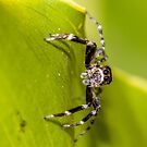 Morning Spider by Rick Playle